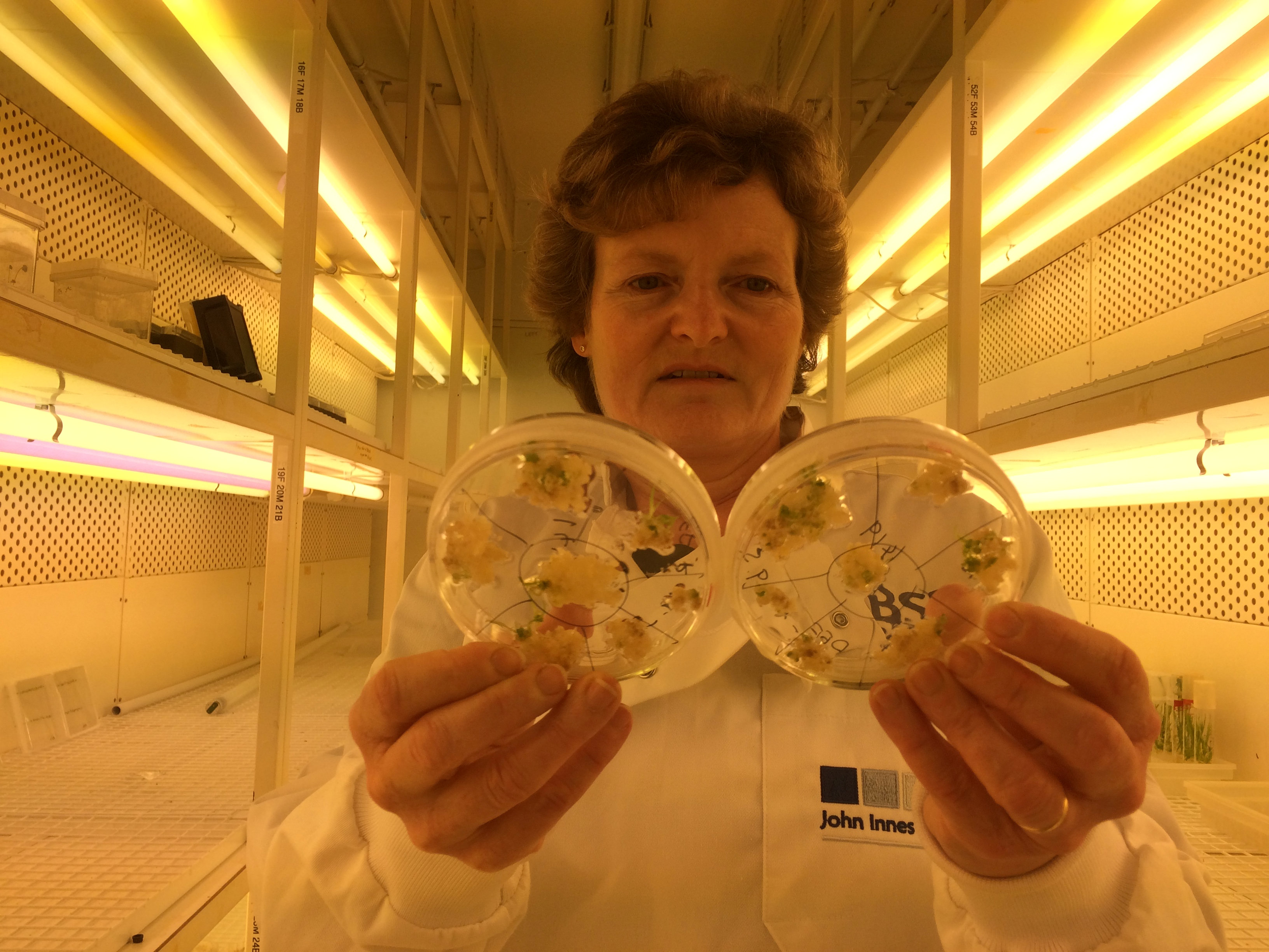 Professor Wendy Harwood poses for a photograph in a plant breeding incubator room with barley plants that have undergone gene editing at the John Innes Centre in Norwich