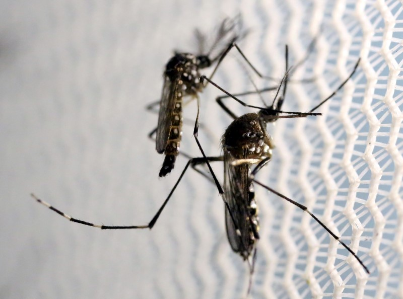 Aedes aegypti mosquitoes are seen inside Oxitec laboratory in Campinas, Brazil,
