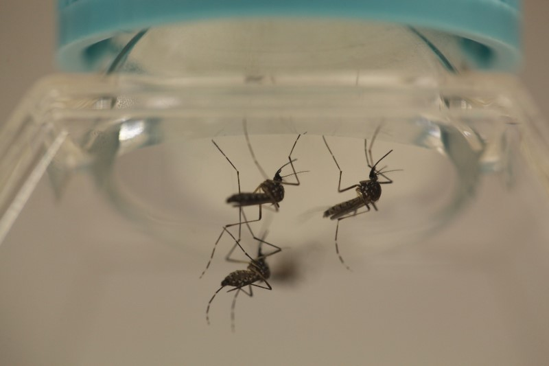 Aedes aegypti mosquitoes are seen at the Laboratory of Entomology and Ecology of the Dengue Branch of the U.S. Centers for Disease Control and Prevention