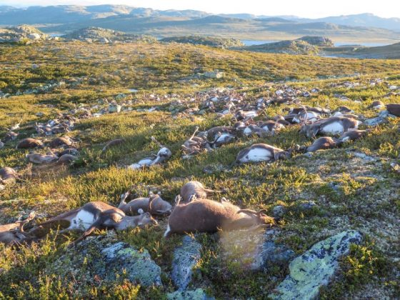 Dead wild reindeer are seen on Hardangervidda in Norway, after lightning struck the central mountain plateau and killed more than 300 of them,