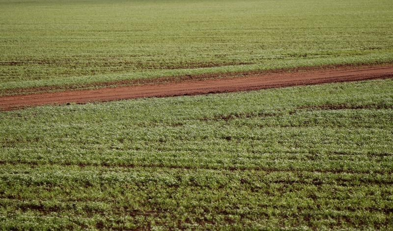 A dirt road cuts through a wheat crop in a farm near Condobolin, 285 miles (489 km) west of Sydney in this file photo