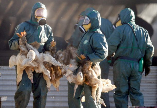 wokers gather ducks that may have bird flu