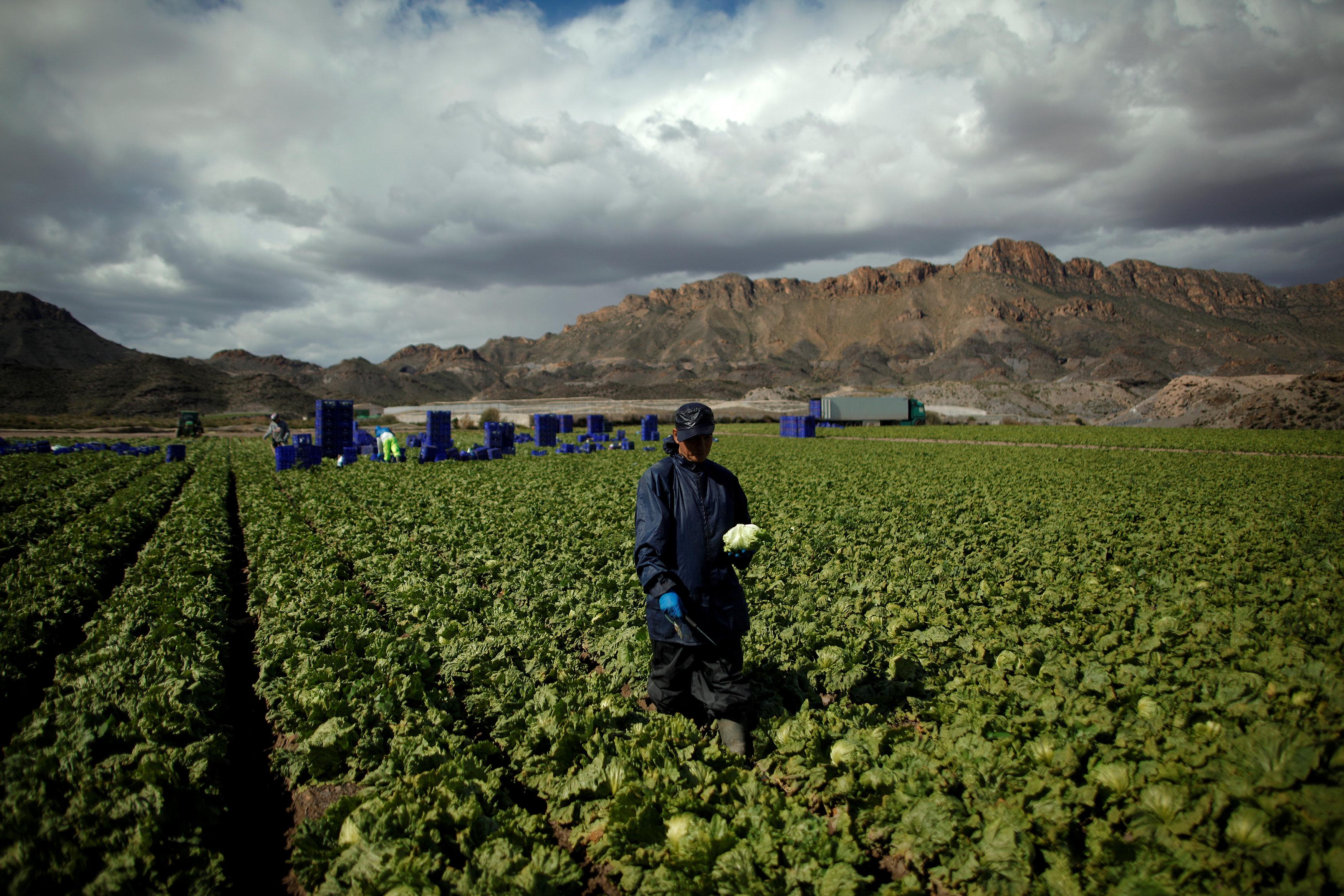 iceberg lettuce farm
