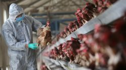 quarantine researcher checking chickens on poultry farm for bird flu