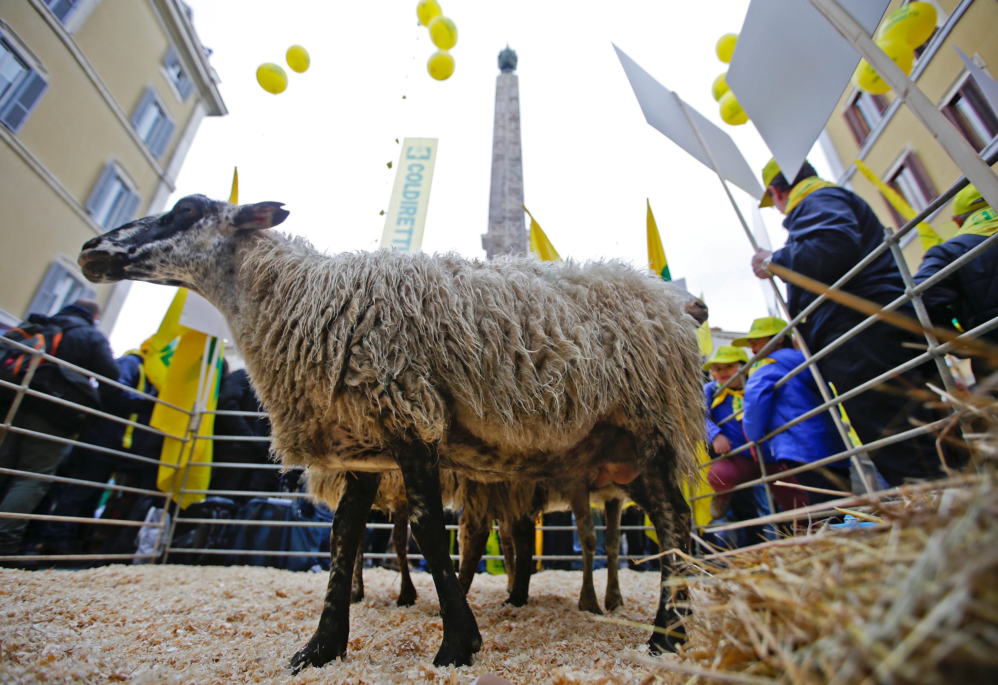 A sheep is seen in front of the Montecitorio Palace during a protest held by farmers from the earthquake zones of Amatrice, in Rome, Italy March 7, 2017. REUTERS/Max Rossi