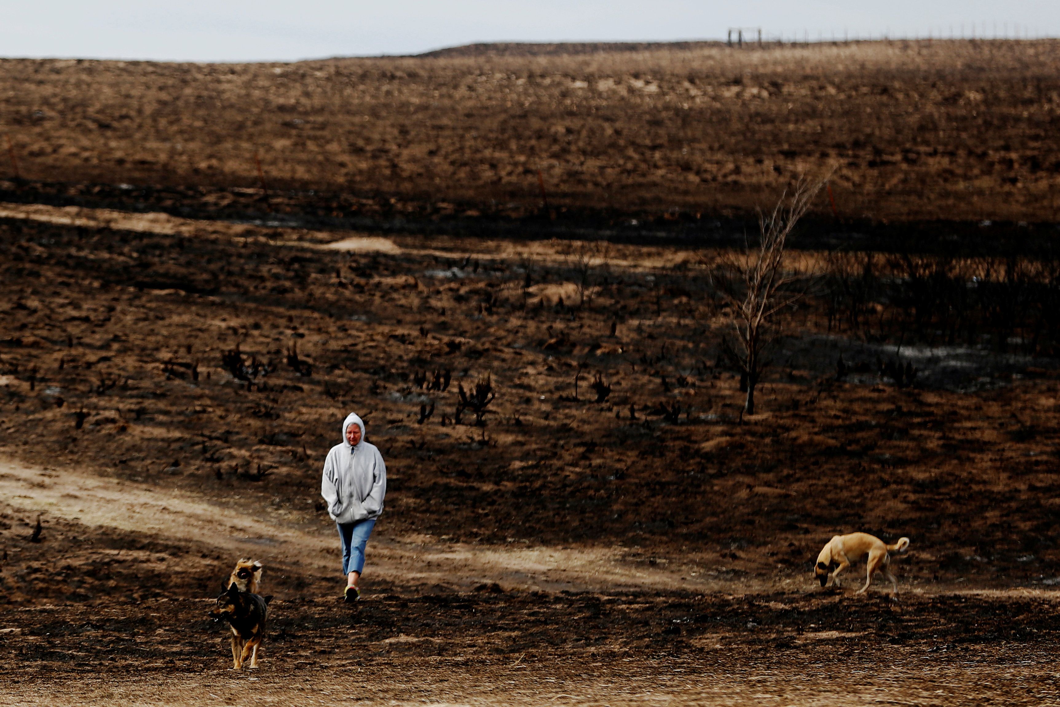 Rancher Nancy Schwerzenbach walks with dogs through pasture burned by wildfires near Lipscomb, Texas, U.S., March 12, 2017. REUTERS/Lucas Jackson