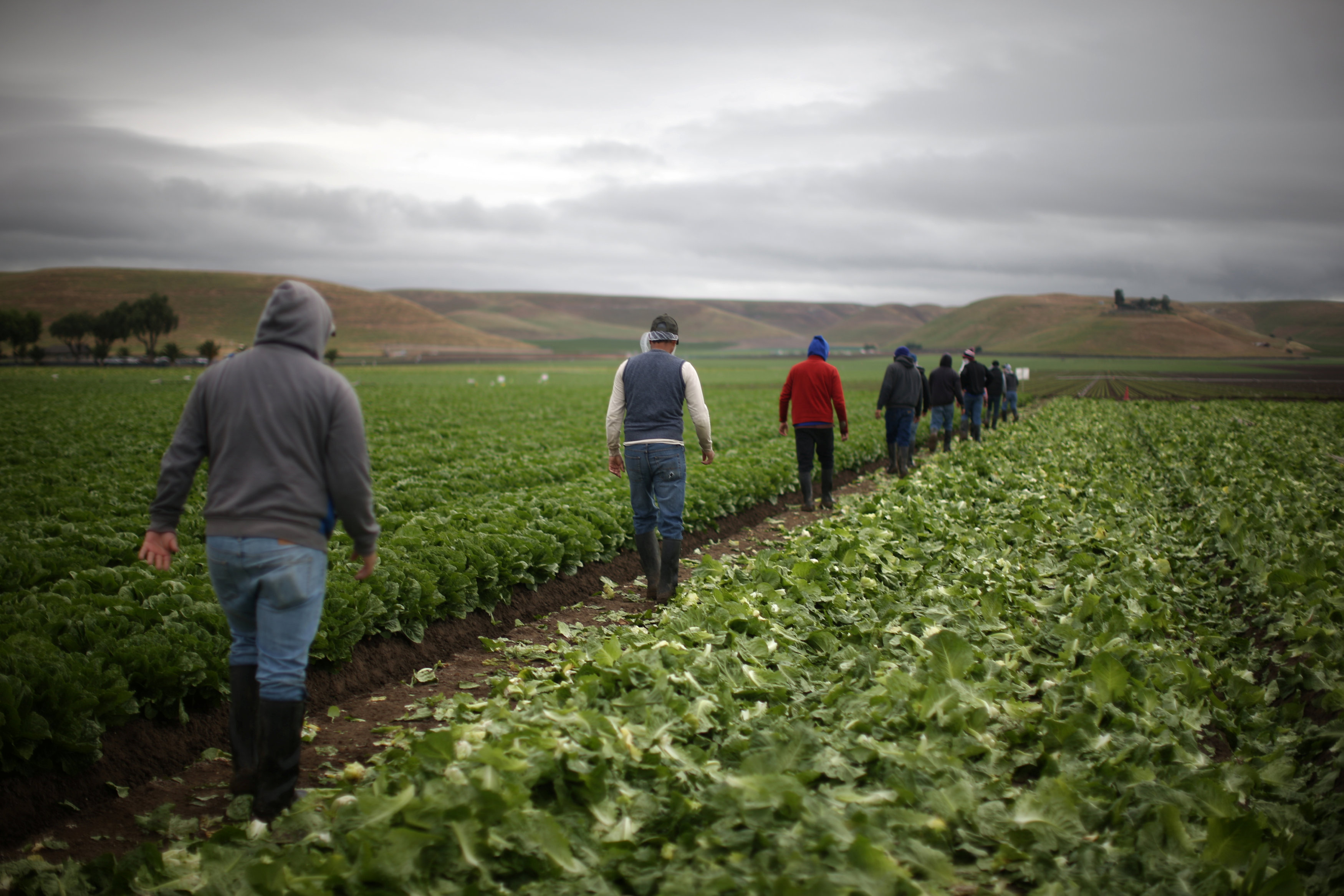 Migrant farmworkers with H-2A visas walk to take a break after harvesting romaine lettuce in King City, California, U.S