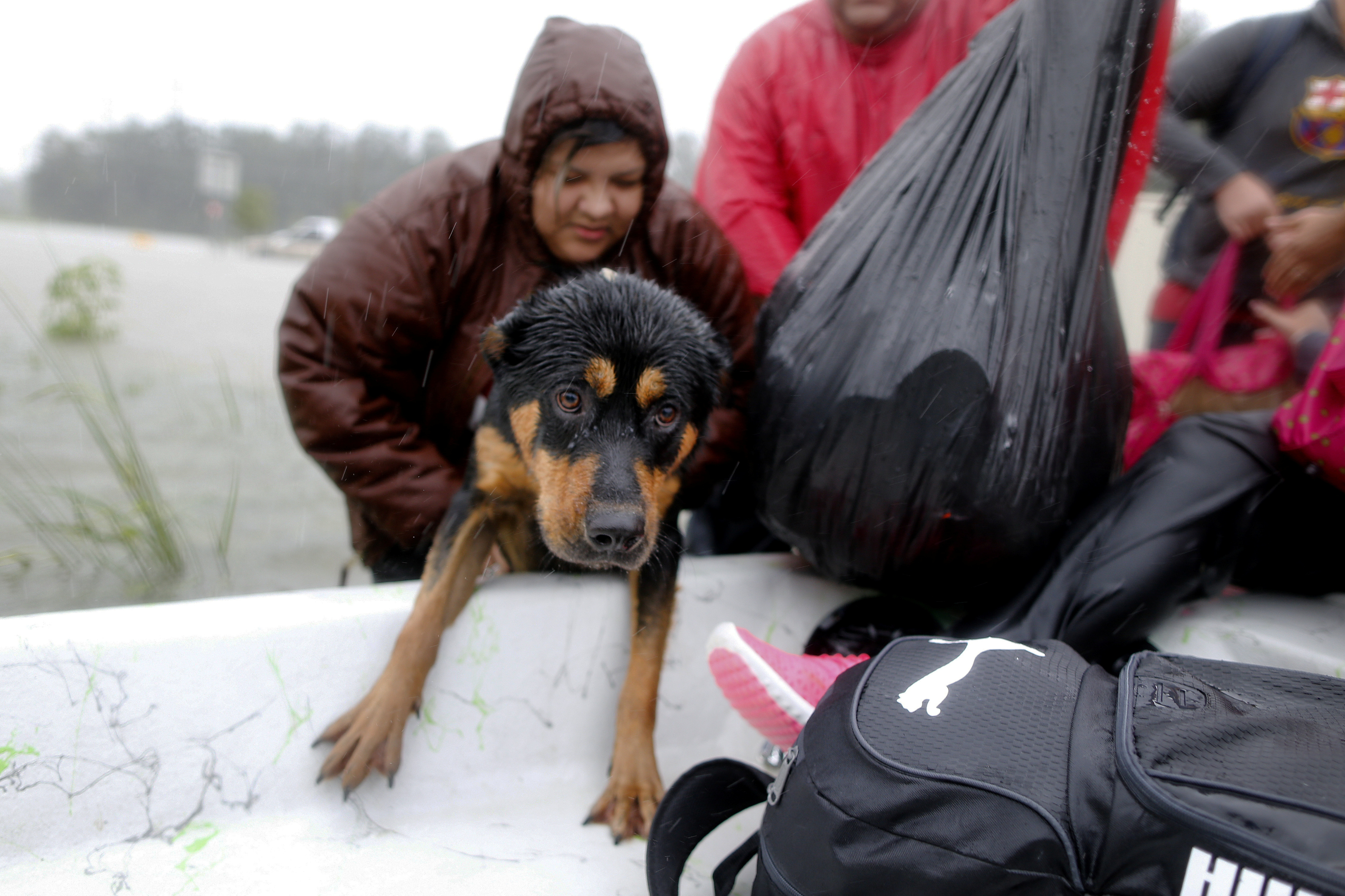 A dog is rescued from the flood waters in Beaumont Place.