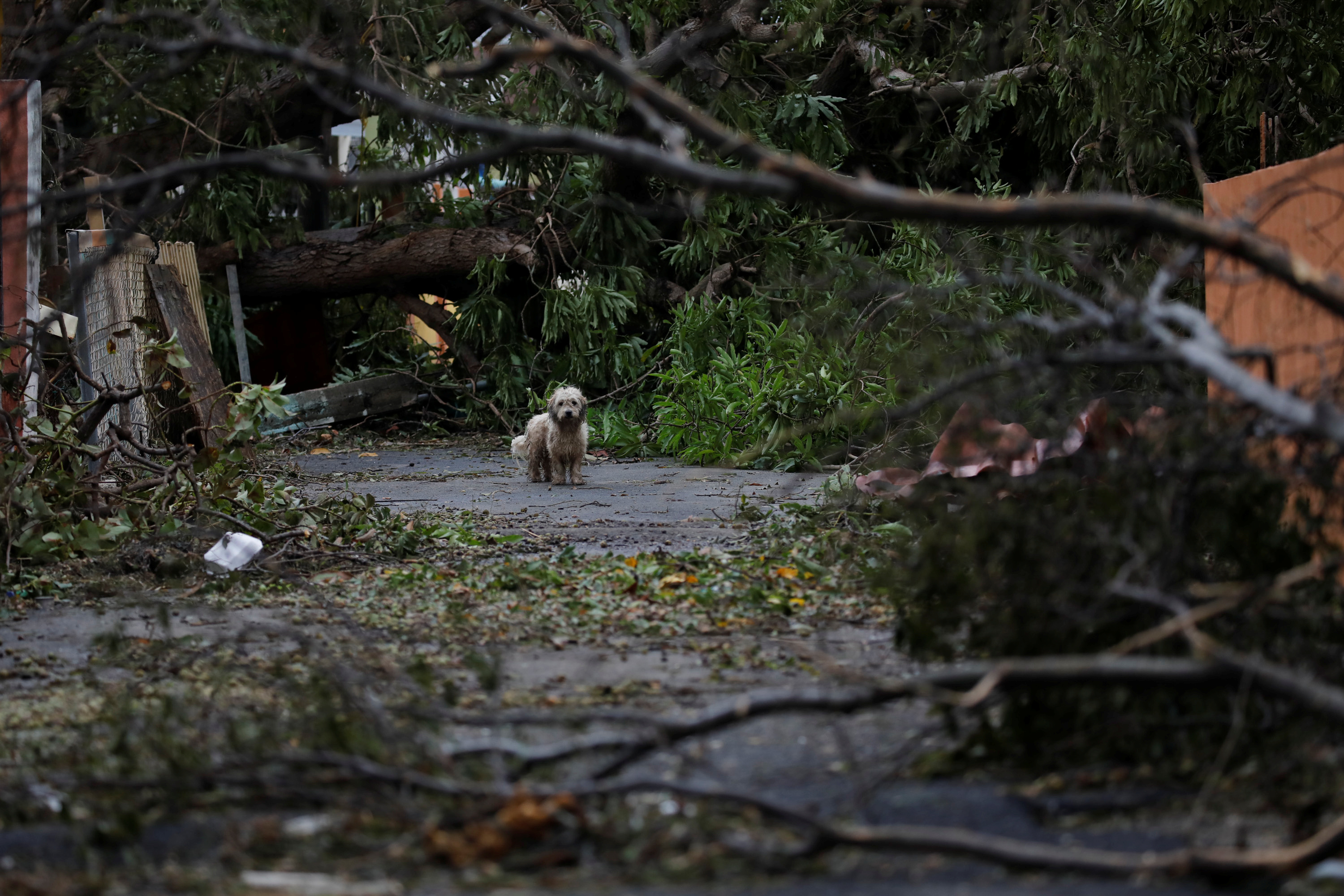 A dog stands next to fallen trees and damaged houses after the area was hit by Hurricane Maria in Salinas, Puerto Rico September 21, 2017. REUTERS/Carlos Garcia Rawlins