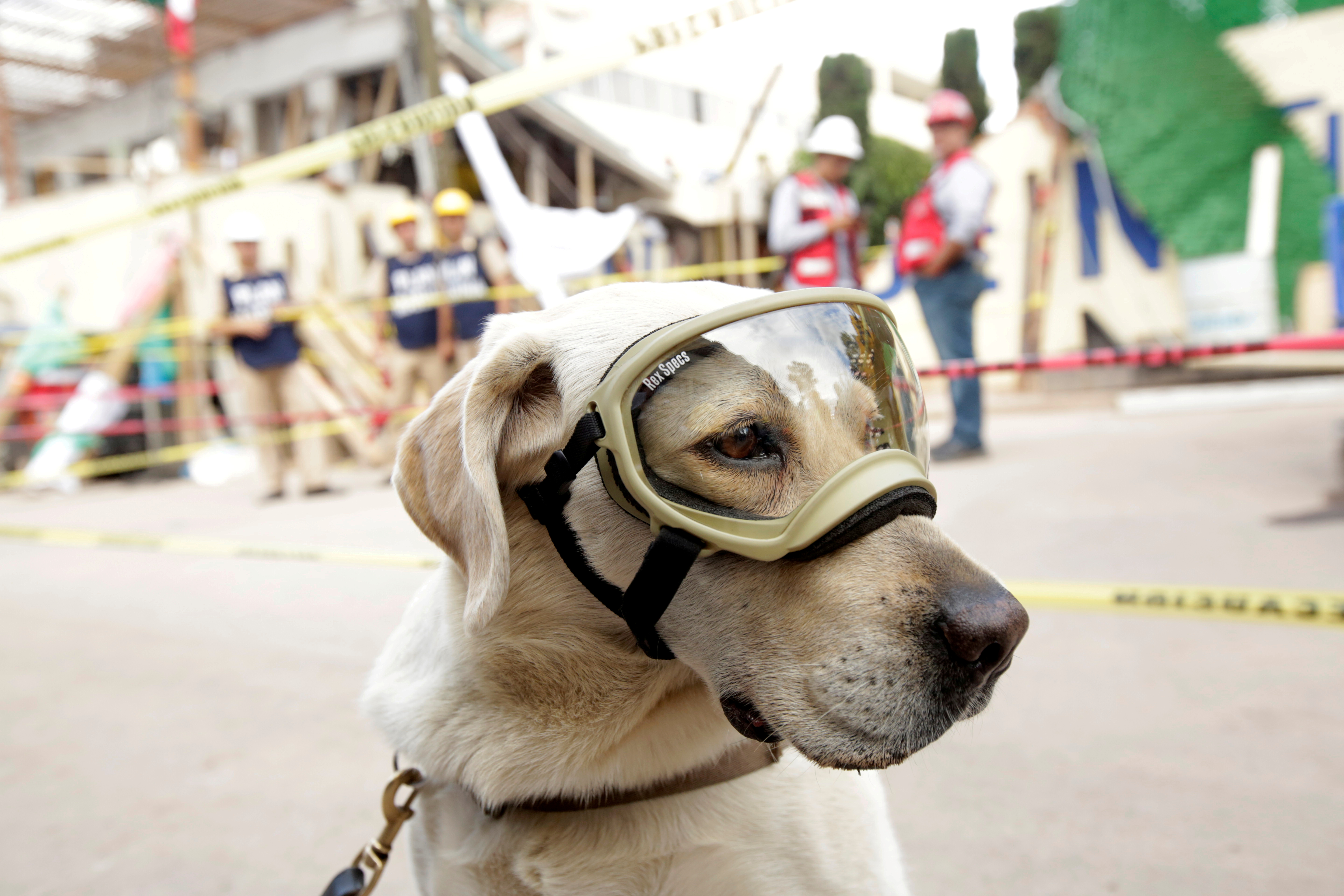 Rescue dog Frida looks on while working after an earthquake in Mexico City, Mexico September 22, 2017. REUTERS/Jose Luis Gonzalez