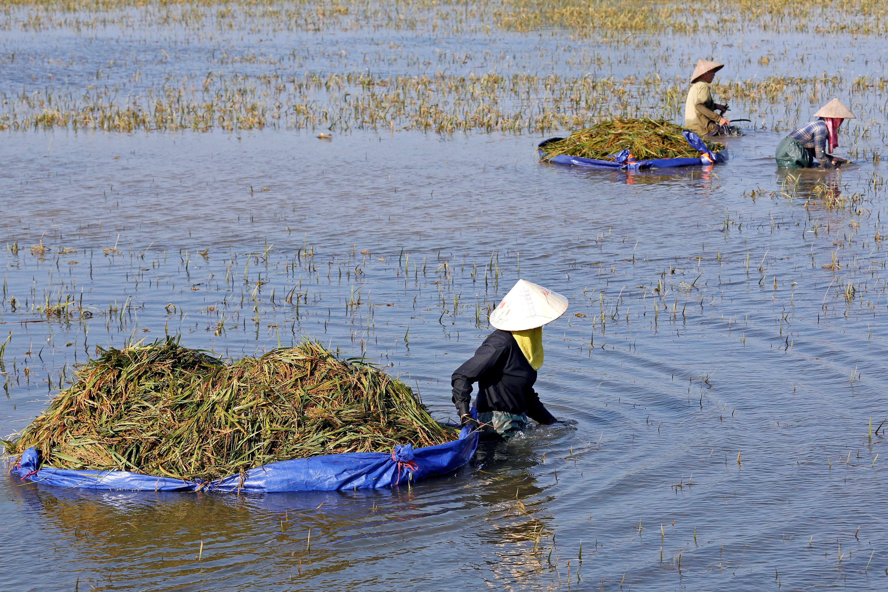 Farmers harvest rice on a flooded field after a heavy rainfall caused by a tropical depression in Ninh Binh province, Vietnam October 14, 2017.