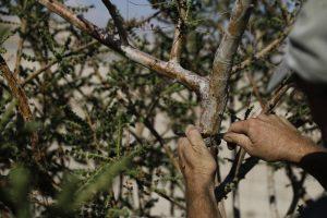 Guy Erlich, an Israeli entrepreneur, taps a frankincense plant at a plantation in Kibbutz Almog, Judean desert, in the West Bank, November 30, 2017.