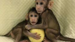 Zhong Zhong and Hua Hua, two cloned long tailed macaque monkeys are seen at the Non-Primate facility at the Chinese Academy of Sciences in Shanghai, China January 10, 2018.