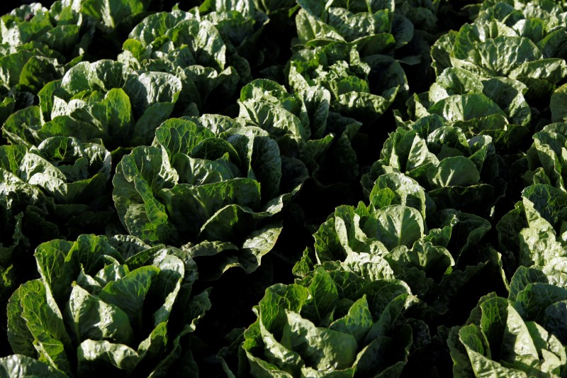 Romaine lettuce grows near Soledad, California, U.S., May 3, 2017. REUTERS/Michael Fial