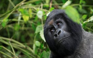 FILE PHOTO: A mountain gorilla looks out of a clearing in Virunga national park in the Democratic Republic of Congo, near the border town of Bunagana October 21, 2012. REUTERS/James Akena/File Photo