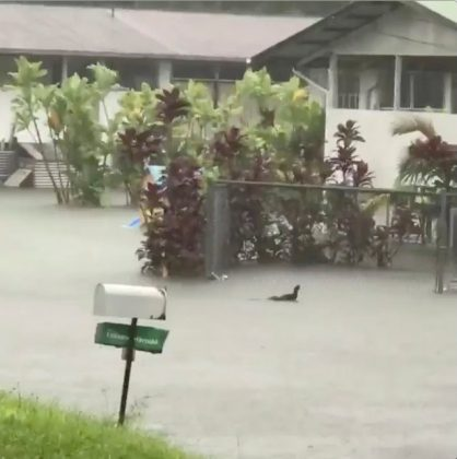A chicken hops through floodwaters in Hilo, Hawaii, U.S. August 23, 2018, in this still image from video obtained from social media. Kehau Comilla/via REUTERS