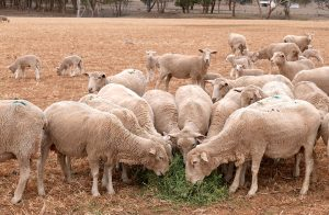 Sheep eat feed put out by farmer Kevin Tongue on his drought-effected property of 'Glenwood' located on the outskirts of the town of Tamworth, north-west of Sydney in Australia, August 25, 2018. Picture taken August 25, 2018. REUTERS/Jill Gralow