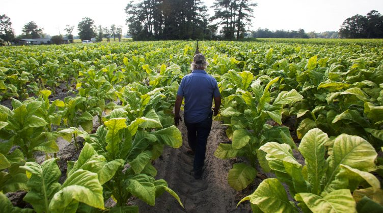 """FILE PHOTO: Lester """"Buddy"""" Stroud, a farm hand at Shelley Farms, walks through a field of tobacco ready to be harvested in the Pleasant View community of Horry County, South Carolina, U.S., July 26, 2013. REUTERS/Randall Hill/File Photo"""