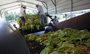 FILE PHOTO: Farm workers place harvested tobacco on a conveyor at Shelly Farms in the Pleasant View community of Horry County, South Carolina, U.S., July 26, 2013. REUTERS/Randall Hill/File Photo