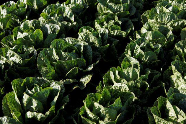 FILE PHOTO - Romaine lettuce grows near Soledad, California, U.S., May 3, 2017. REUTERS/Michael Fiala