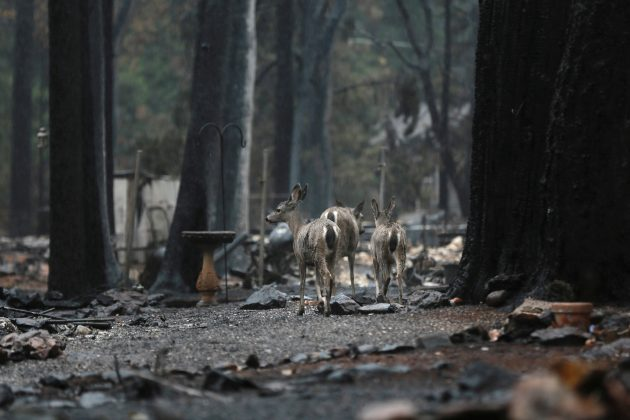FILE PHOTO: Deer are seen on a property damaged by the Camp Fire in Paradise, California, U.S. November 21, 2018. REUTERS/Elijah Nouvelage/File Photo