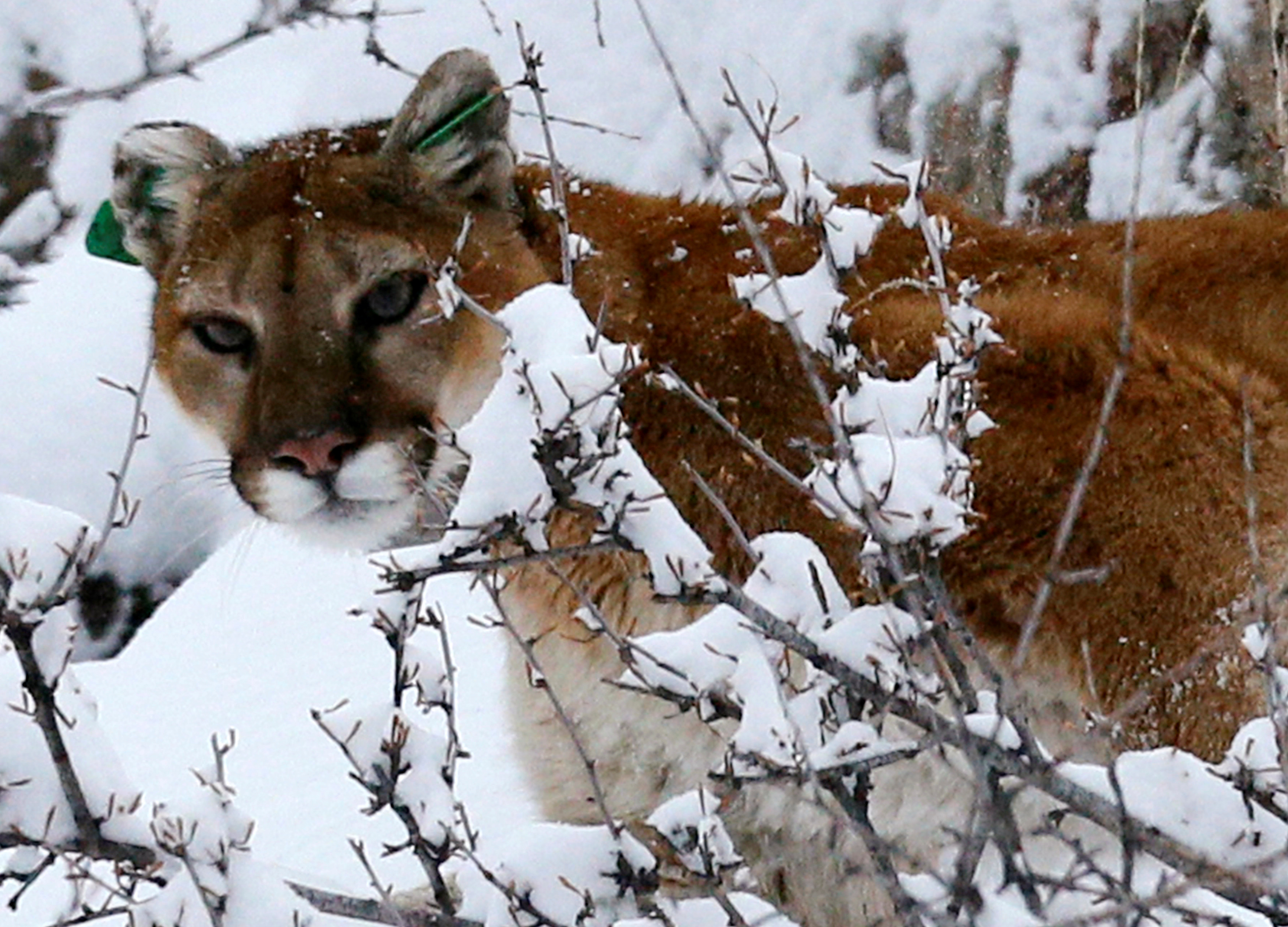 FILE PHOTO: A mountain lion makes its way through fresh snow in the foothills outside of Golden, Colorado April 3, 2014. REUTERS/Rick Wilking/File Photo