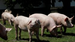 FILE PHOTO: Pigs are seen on a pig farm in Rabacsecseny, Hungary, May 31, 2018. Picture taken May 31, 2018. REUTERS/Bernadett Szabo - RC16668124D0