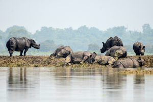 One-horned rhinos rest on a highland in the flood affected area of Kaziranga National Park in Nagaon district, in the northeastern state of Assam, India, July 18, 2019. REUTERS/Anuwar Hazarika