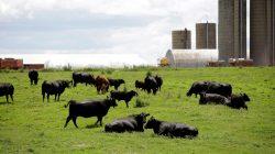 FILE PHOTO: Cattle rest in a field outside a farm in Peosta, Iowa, U.S., July 26, 2018. REUTERS/Joshua Lott/File Photo