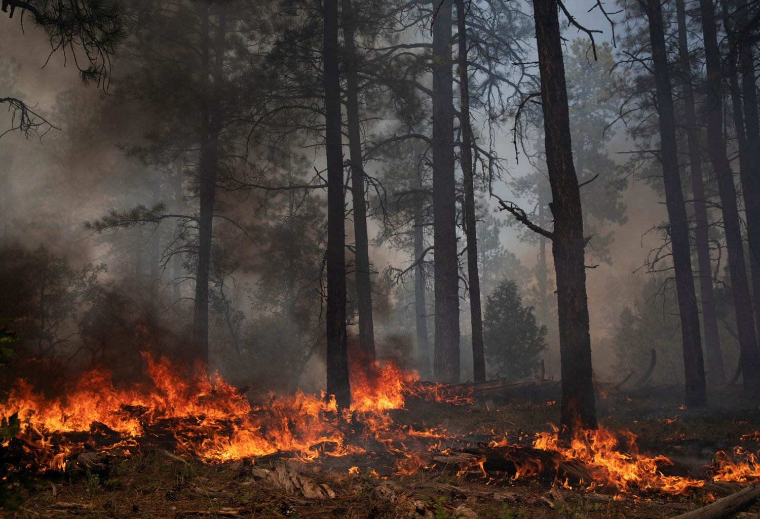 Ground fuels burn during a controlled burn administered by the U.S. Forest Service north of Gallina, New Mexico, U.S. August 15, 2019. REUTERS/Adria Malcolm