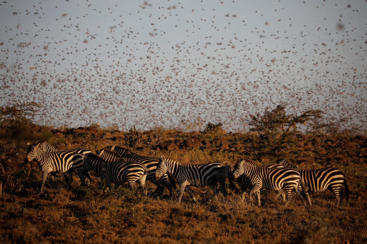 Farmers fight back: Making animal feed from a locust ...